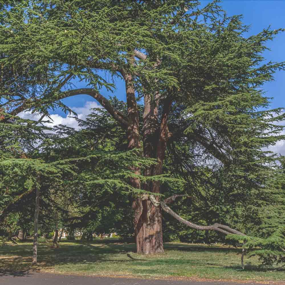 Oatlands Park Hotel Cedar Tree
